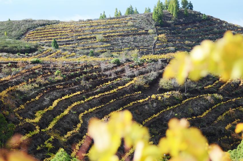 Viñedo de la subzona Norte. La Palma. Foto cedida por la D.O. La Palma
