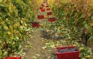 Comunicado a viticultores y bodegueros de la D.O. La Palma