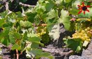 El secreto de los vinos de Lanzarote