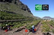 La cosecha 2015 en Ycoden Daute  Isora finaliza con 458.460 kilos de uva