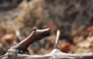 Época de poda del viñedo. D.O. Tacoronte-Acentejo