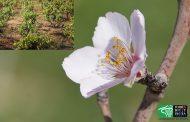 Almendros en flor y vino