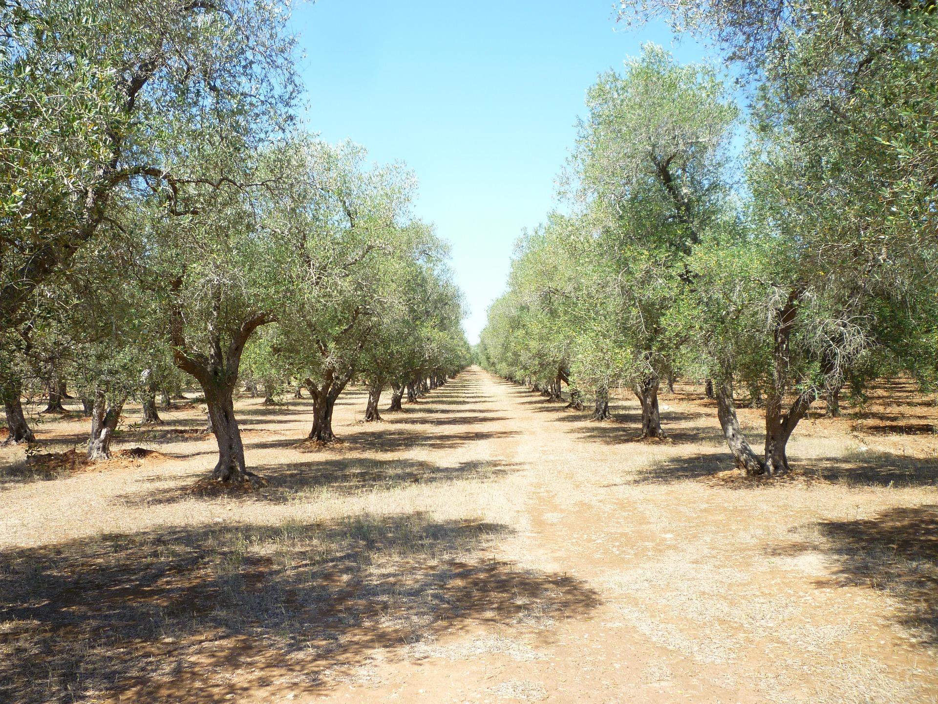 Aceite de oliva contra el cáncer cerebral