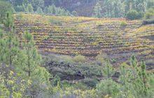 Los vinos de Tea, curiosidad enológica de La Palma