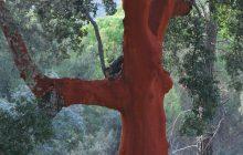 Alcornoque y corcho, un papel relevante en la lucha contra el cambio climático