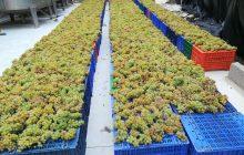 La primera vendimia del hemisferio norte es Canary Wine
