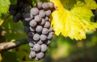 La fotosíntesis y el carbono que importa la uva influyen en su pérdida de color