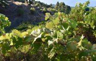 Garafía se convierte este fin de semana en la capital del vino en La Palma