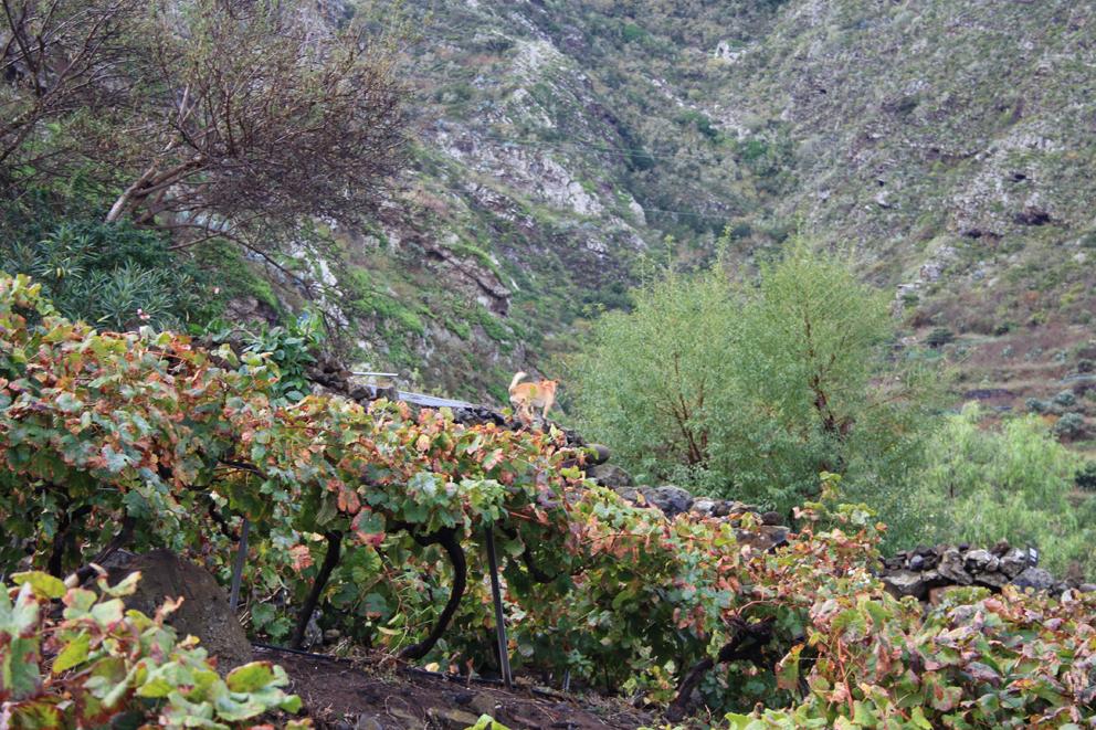 El Gobierno de Canarias convoca subvenciones PDR a inversiones en explotaciones agrarias por 11 millones de euros