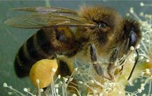 El Gobierno de Canarias convoca ayudas a la miel de Abeja Negra Canaria por 540.000 euros