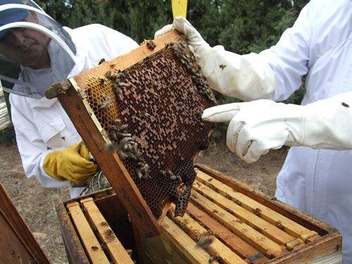 Dulce noticia para los apicultores de abeja negracanaria