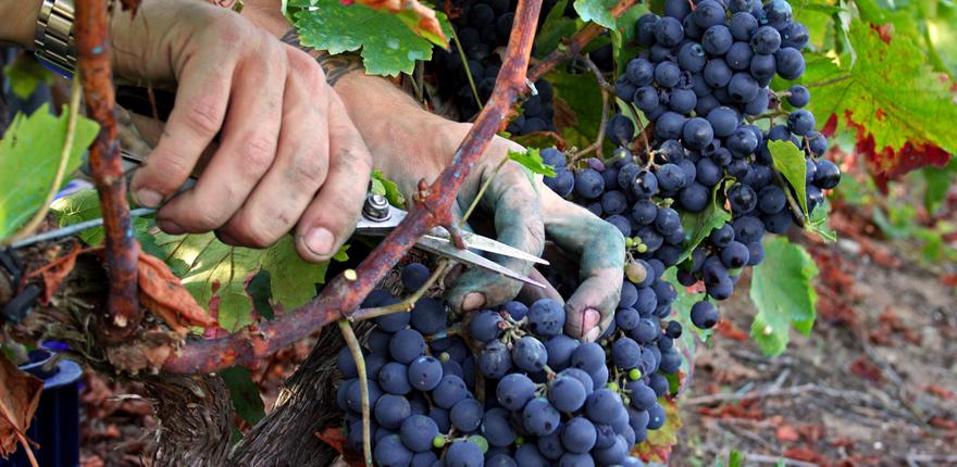 Madera de la poda de la viña, alternativa a los sulfitos