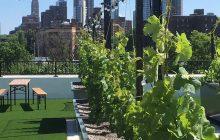 Viticultura urbana, en lo más alto de Brooklyn