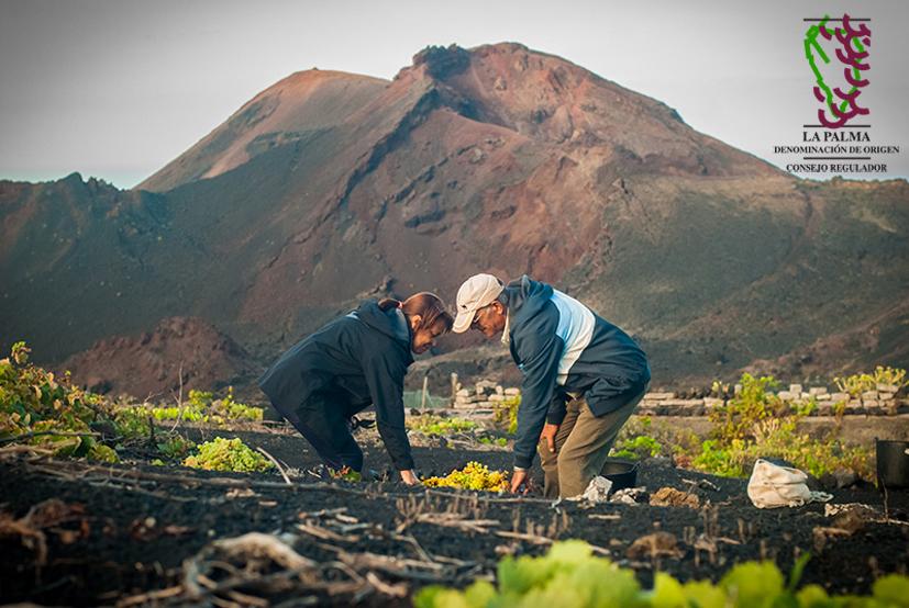 D.O.P. La Palma, la cosecha 2016