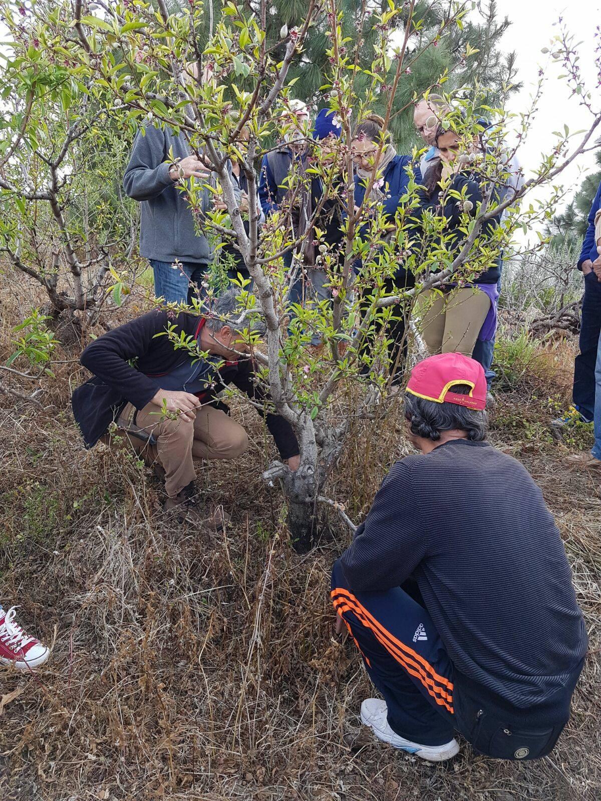 Un total de 25 alumnos participan en un curso sobre a poda e injerto de frutales y viña en Icod de Los Vinos