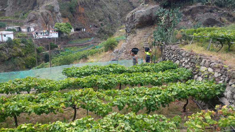 Vendimia en Tacoronte-Acentejo