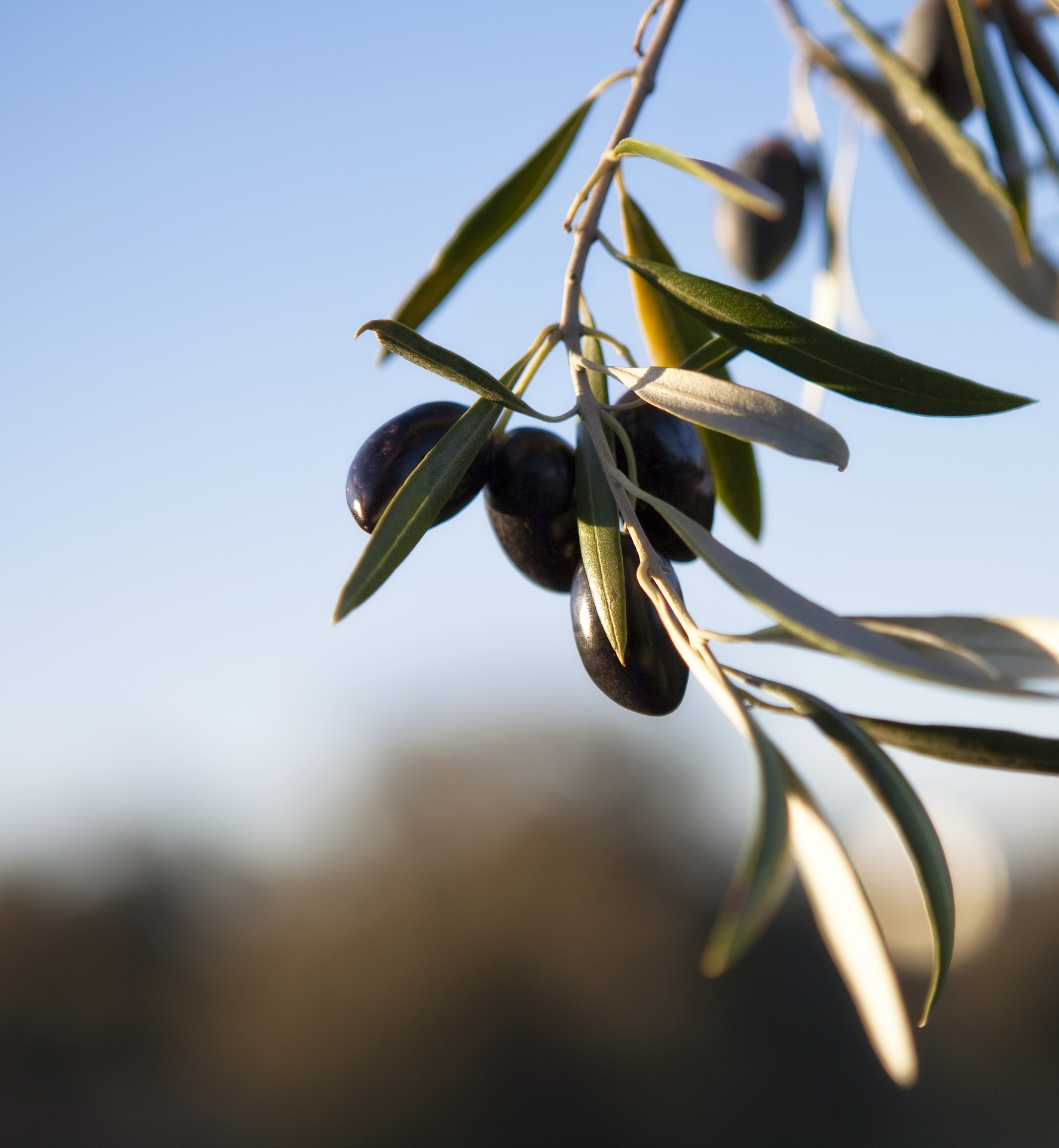 Apoyo al cultivo del olivo