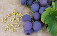 Pepita de uva para proteger frente a las alteraciones intestinales
