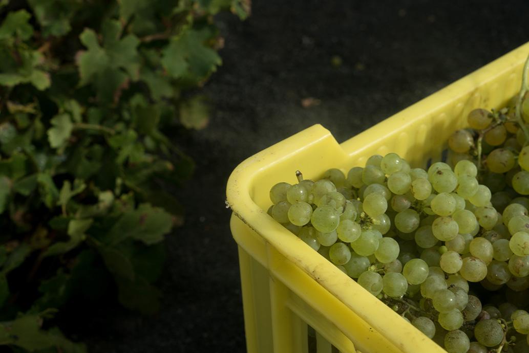 El Consejo Regulador de la Denominación de Origen Vinos de Lanzarote se prepara para la próxima vendimia