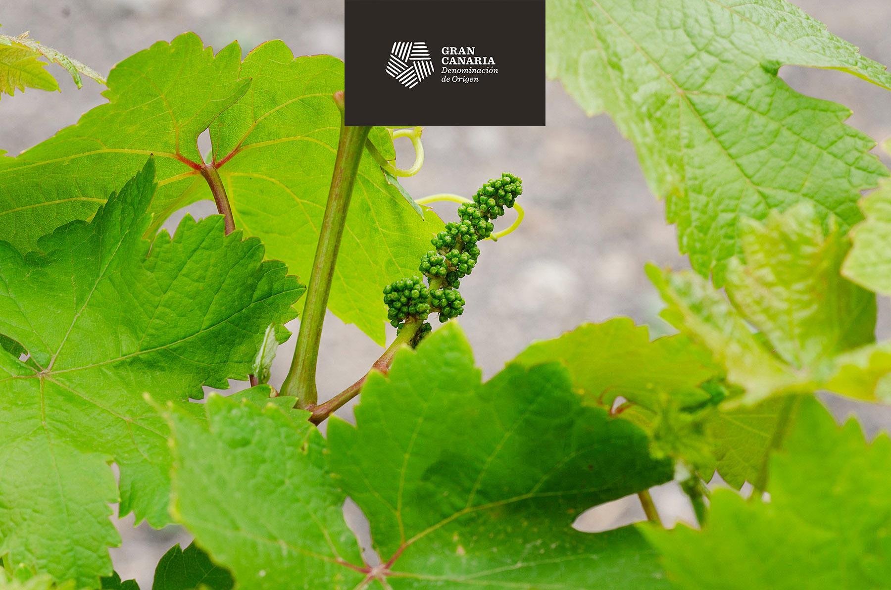 El sector del vino en Gran Canaria podrá acogerse a una serie de medidas de apoyo para amortiguar las pérdidas