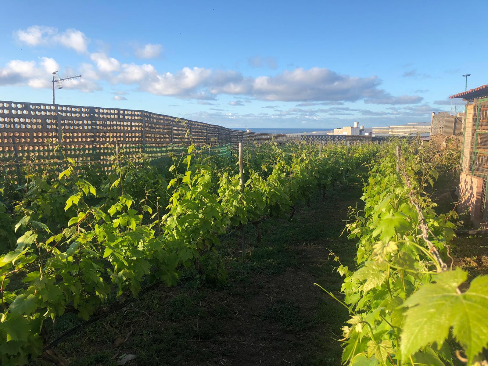Los vinos grancanarios se reinventan para paliar la crisis