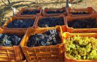 Avance de vendimia 2020 en Tacoronte-Acentejo