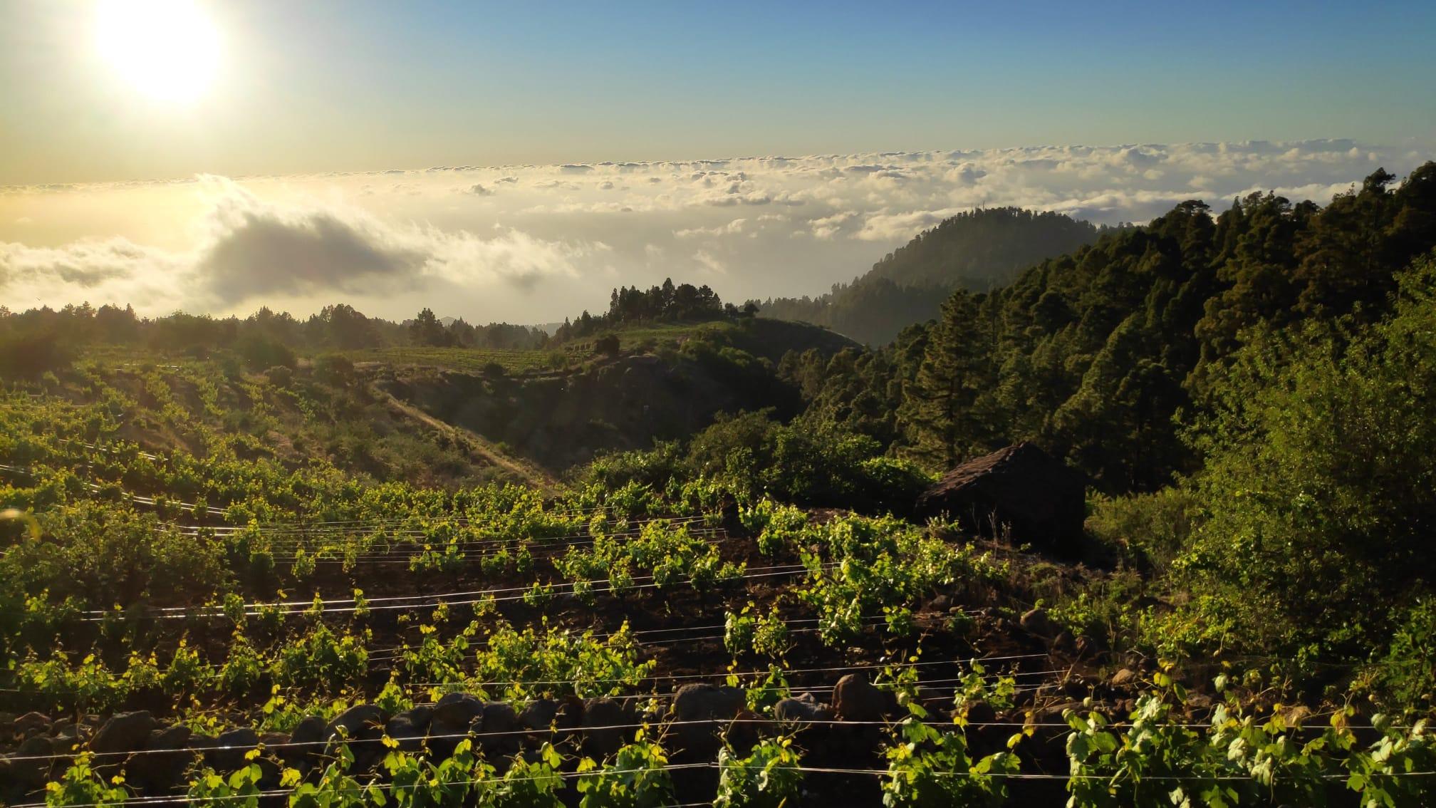 Los vinos canarios triunfan en Italia