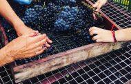 Bodega La Mareta renueva su tinto Listán Negro, con un desgranado manual para potenciar sus aromas frutales