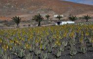 El Gobierno de Canarias convoca ayudas para los productores de aloe vera y olivo