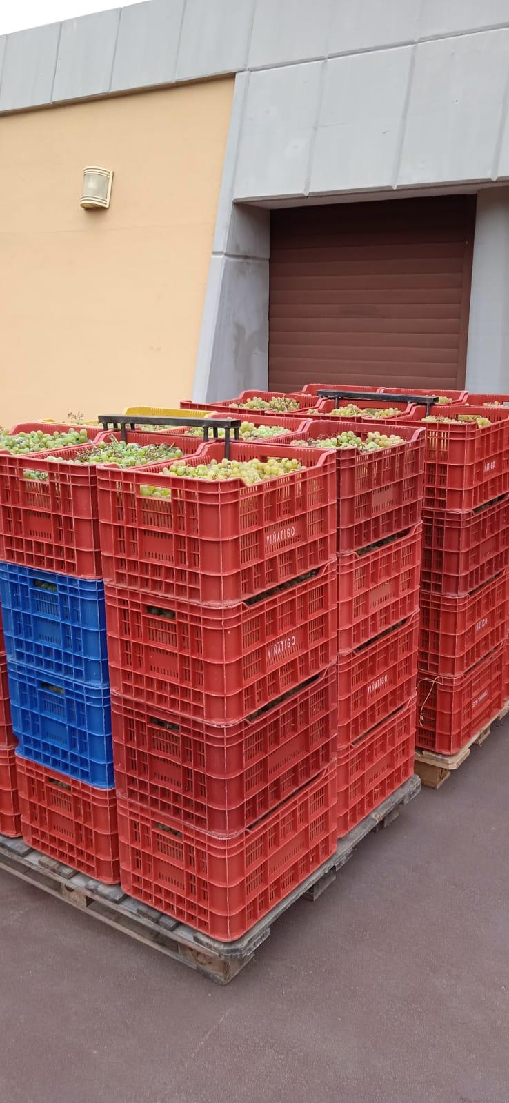 Arranca la vendimia en las DOP Islas Canarias e Ycoden Daute Isora