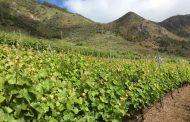 El nuevo Pliego de Condiciones de la DOP Islas Canarias pone en valor la singularidad de los Canary Wine